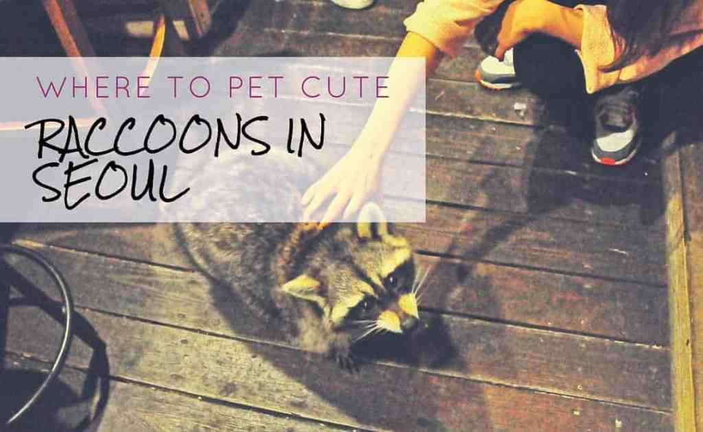 Where To Pet The Cutest Raccoons In Seoul