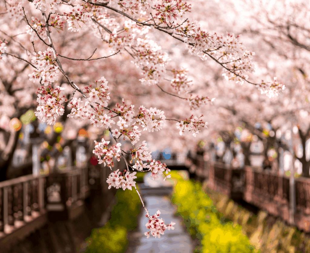 2020 Korea Cherry Blossoms Forecast