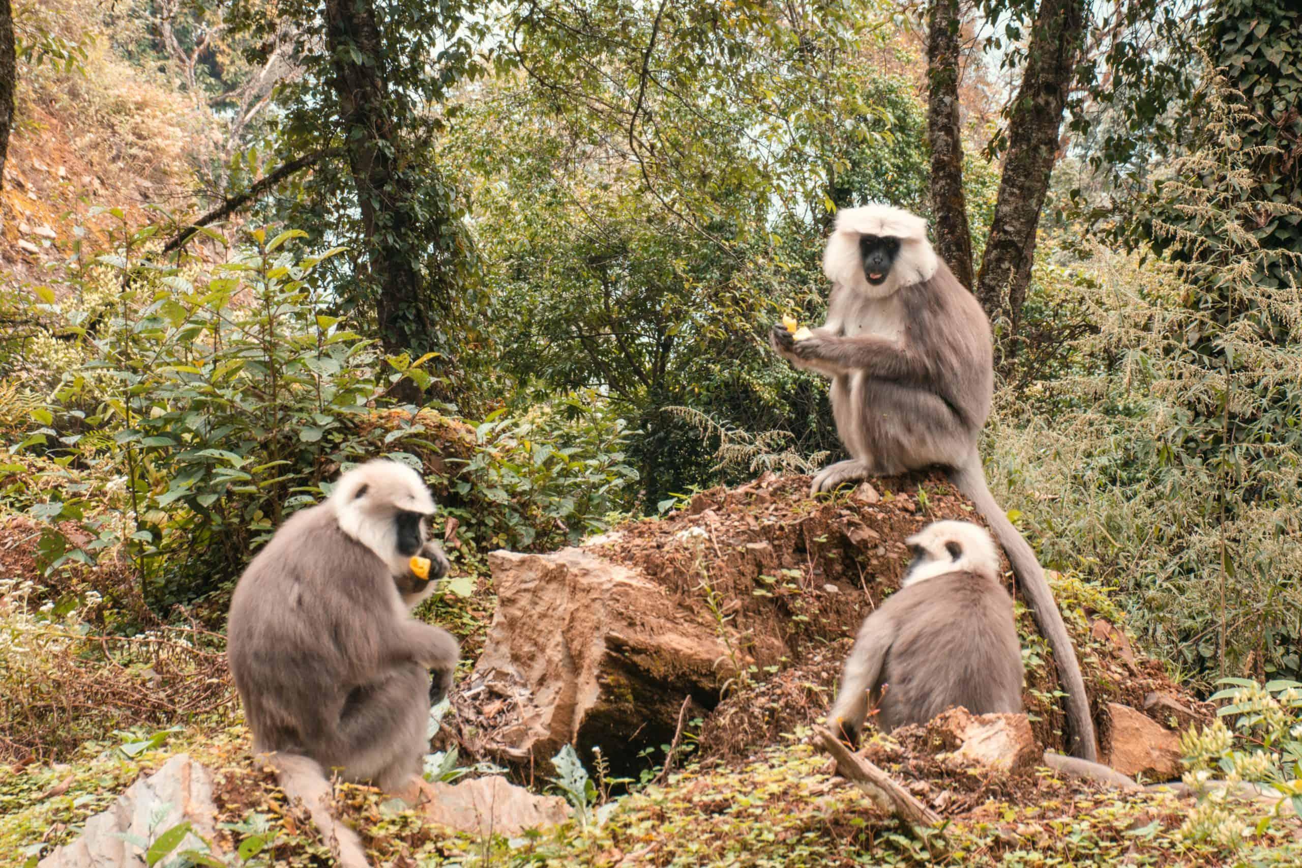 monkeys in Bhutan