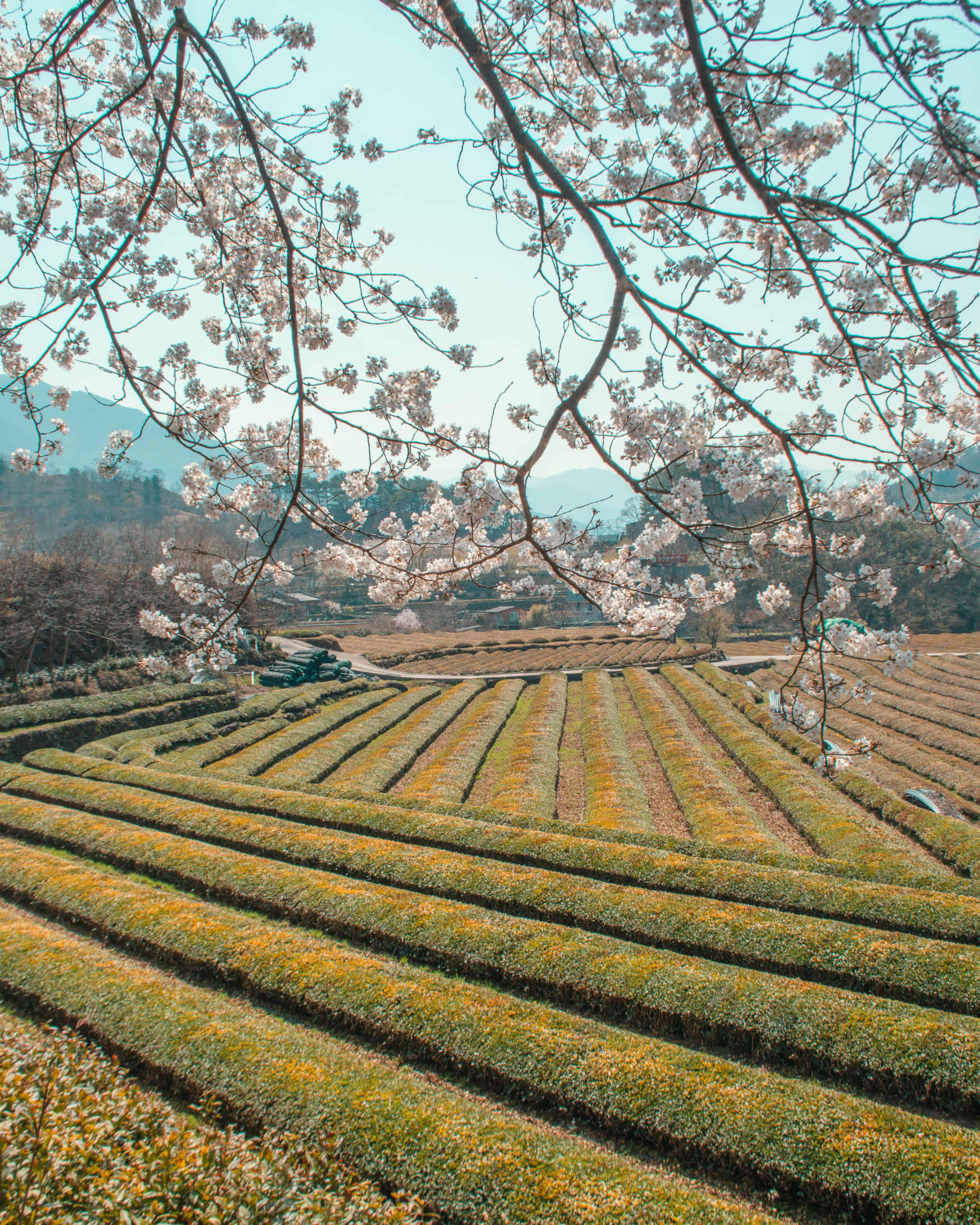 hadong tea fields