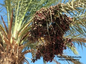 Dates ripen on the palms over a Dahab street.