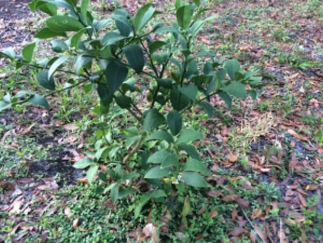 Myer Lemon Tree