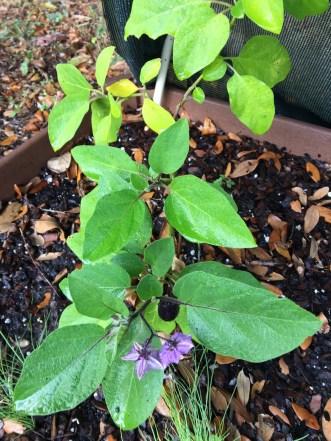 my-eggplant-plant