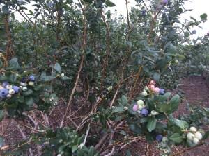Tom West Blueberry Farm (12)