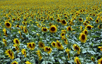 sunflowers-12.JPG