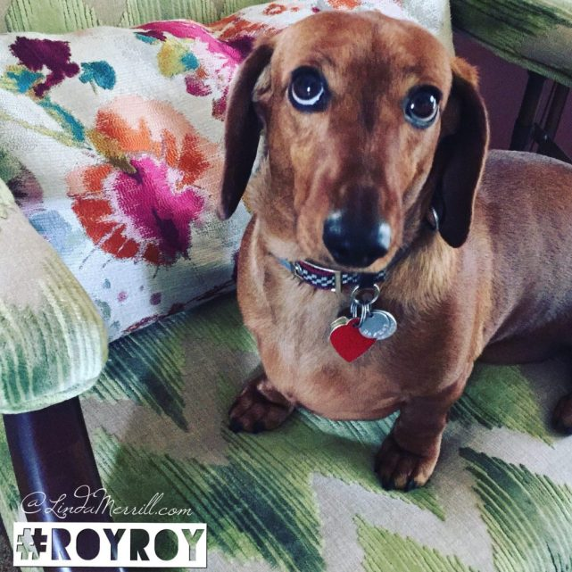 Accent-chair-Linda-merrill-Lee-Jofa-watersedge-green-with-colorful-pillow-and-RoyRoy-dachshund