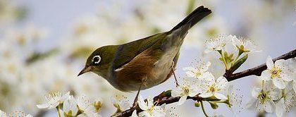 Vogel op een takje met bloesems