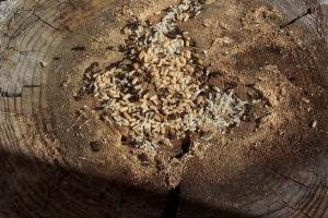 Carpenter Ants on tree stump