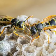 Yellow jackets in nest