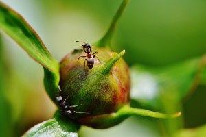 Moisture ants on peony