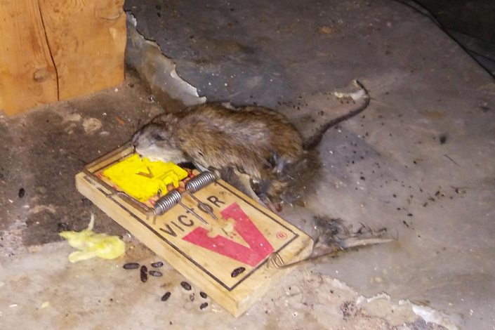 Dead rat in crawl space