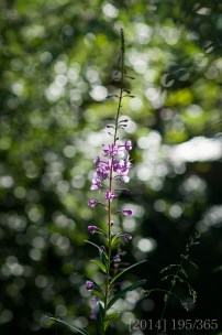 Fireweed in our backyard
