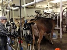 Milking2
