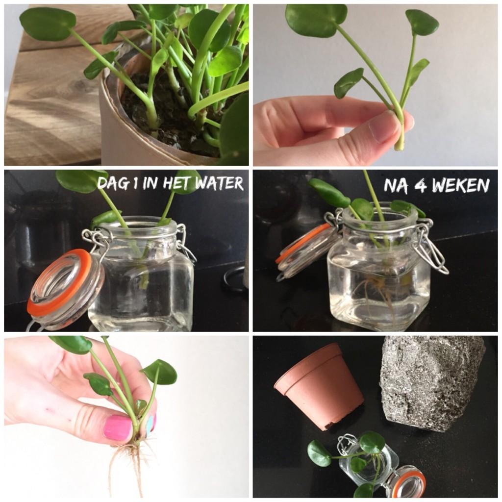 Een pannenkoekenplant stekken
