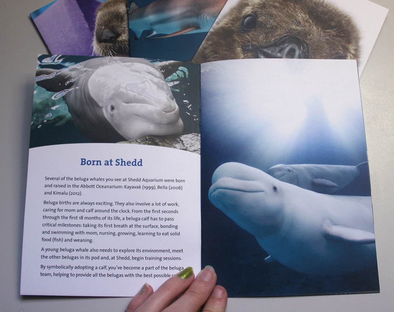 A booklet is shown opened to a spread about beluga whales. The left page features a story about a beluga born at Shedd. The right page shows a photo of a tiny beluga calf and its mother.
