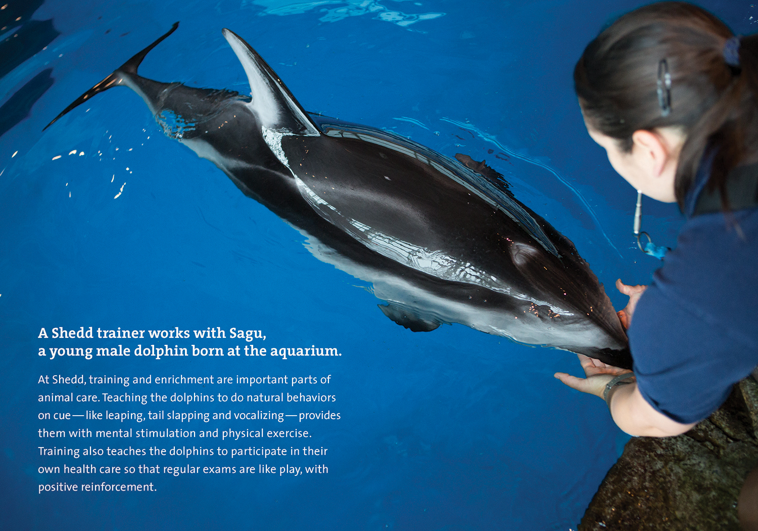 In this two-page spread a dolphin is shown resting its mouth on a trainer's hands. Descriptive copy in the bottom left corner reads, 'A Shedd trainer works with Sagu, a young male dolphin born at the Aquarium.