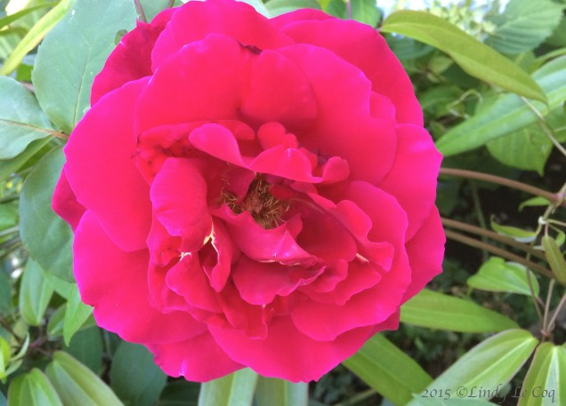 """Mr. Lincoln"" Rose over clematis"