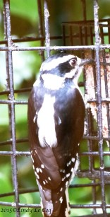 Young, female Downy Woodpecker