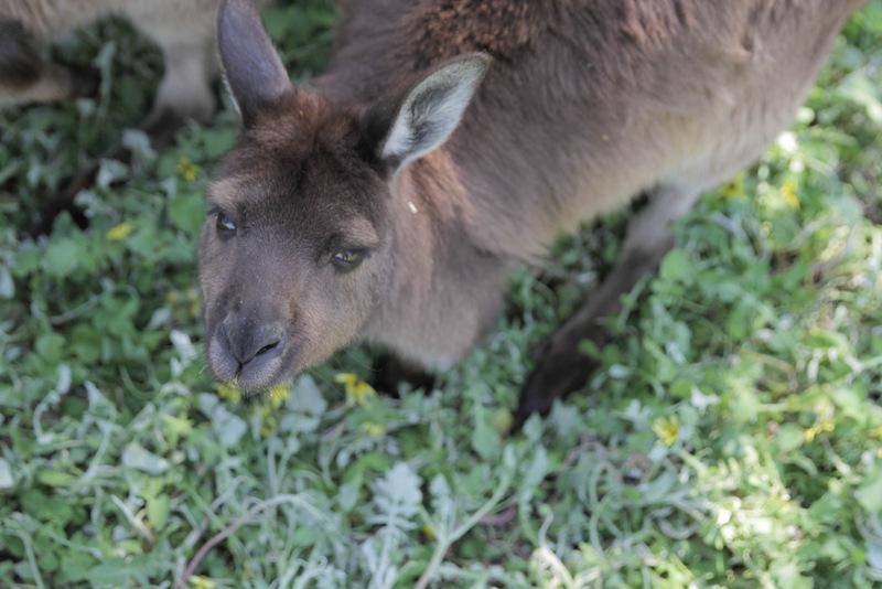 Kangaroo at KI Wildlife Park