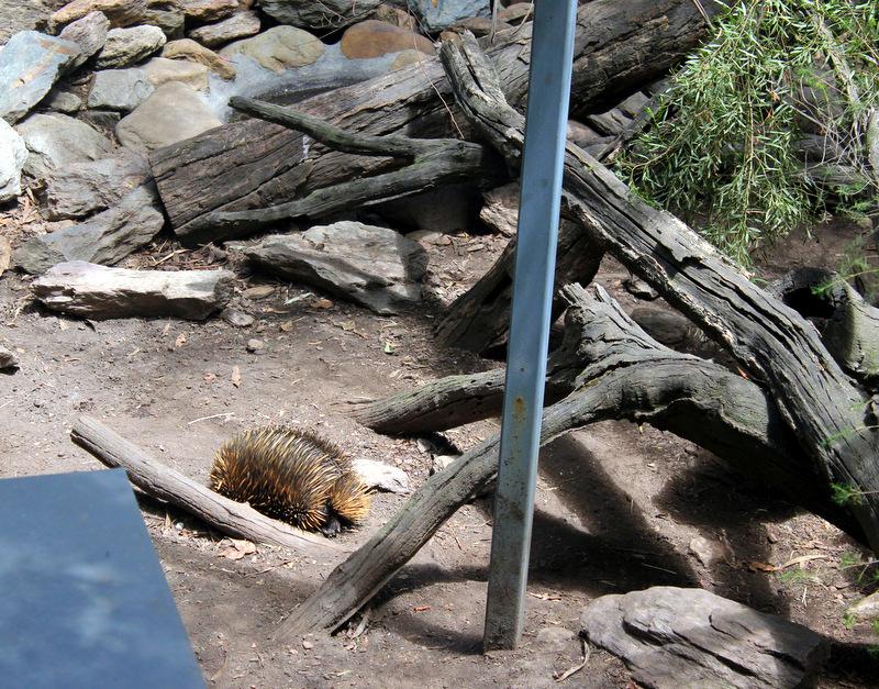 Echidna, Gorge Wildlife Park