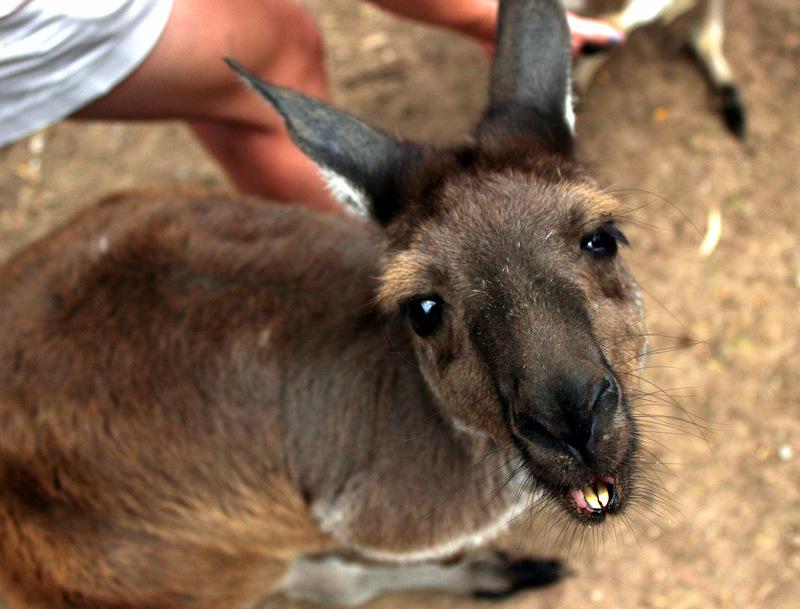 Kangaroo, Gorge Wildlife Park