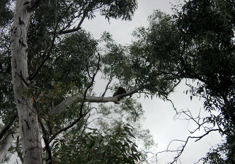 Koala in Belair National Park