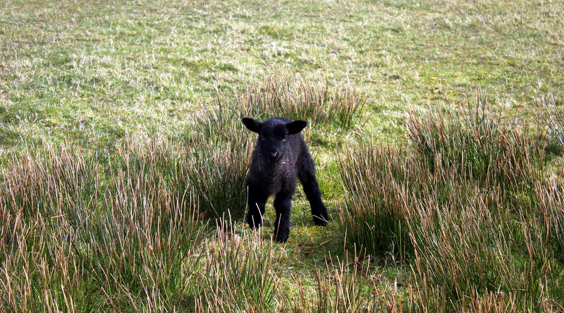 Lamb at Mussenden Temple
