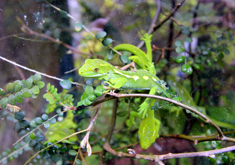 Gecko at Zealandia