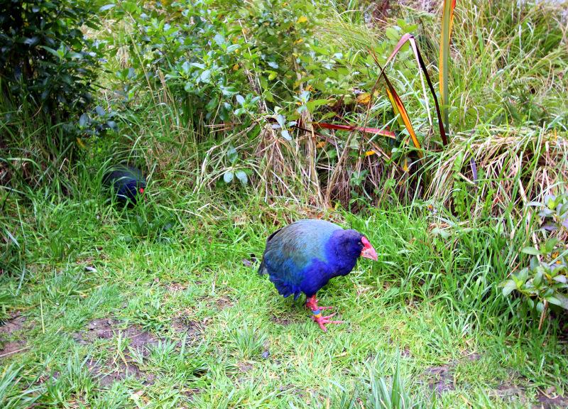 Takahe at Zealandia, Wellington