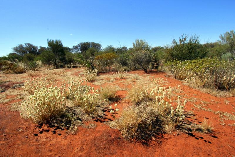 Vegetation around Uluru