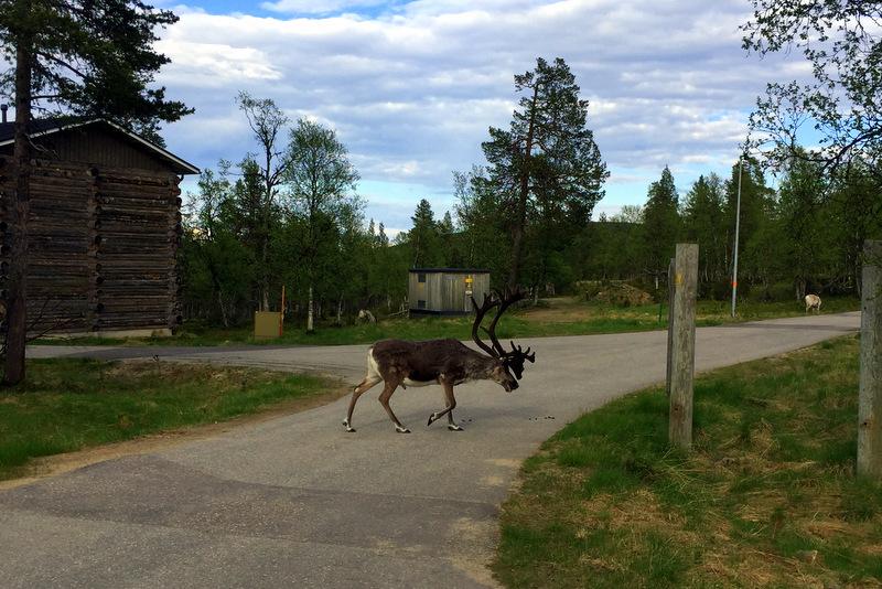 Lappish reindeer in road