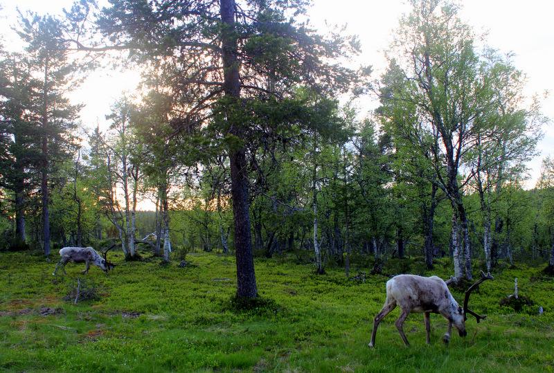 Reindeer in Saariselka
