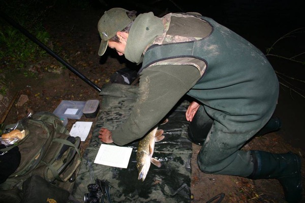 Sparsholt College fisheries graduate James Sarkar surveying a Severn jack last winter – it isn't all about river monsters, because young fish can reveal much about the future, especially when tracked over time.