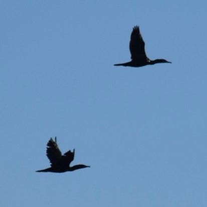 Cormorant predation prevention measures