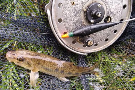 gudgeon fishing