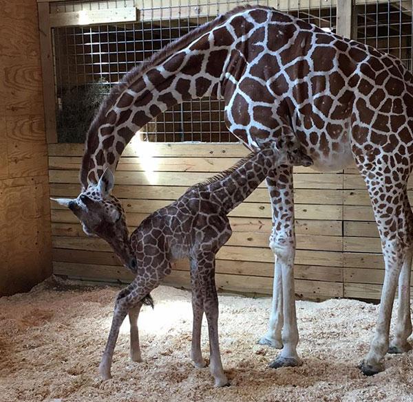 April the Giraffe on Lingerie Briefs