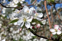 Apple blossoms(w)