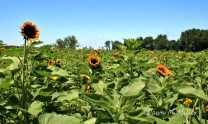 Sunflower Blooms(w)
