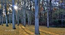 Ginkgo Grove at Blandy