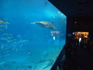 ちゅら海水族館のジンベイザメ