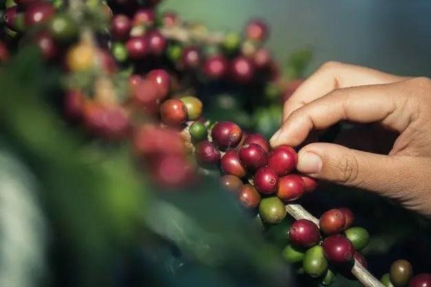 زراعة القهوة