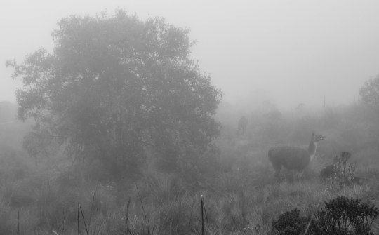 Llamas in the mist (according to Chris)