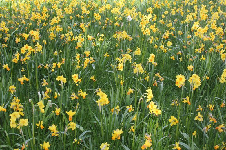 к статье Тауэр - daffodills Hampton court
