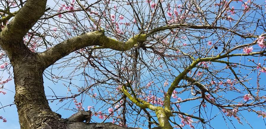 Früher waren die Mandelbäume ein gutes Zubrot für die Winzer, heute werden sie nur noch zur Zierde angebaut.