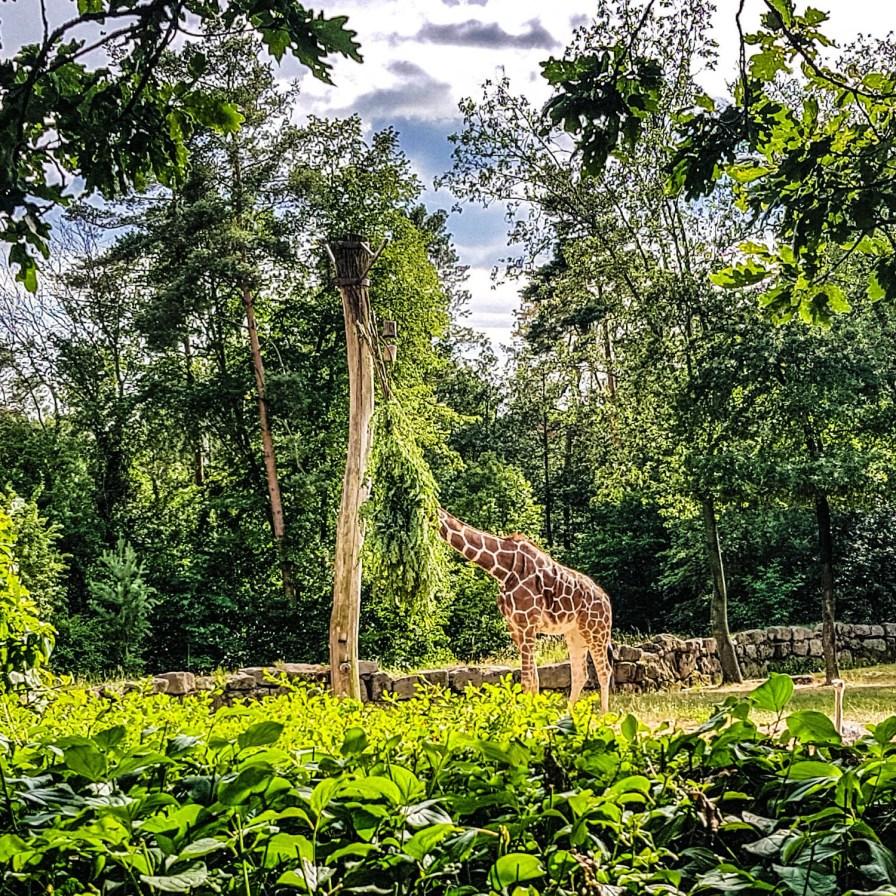Tiergarten Giraffe Nürnberg