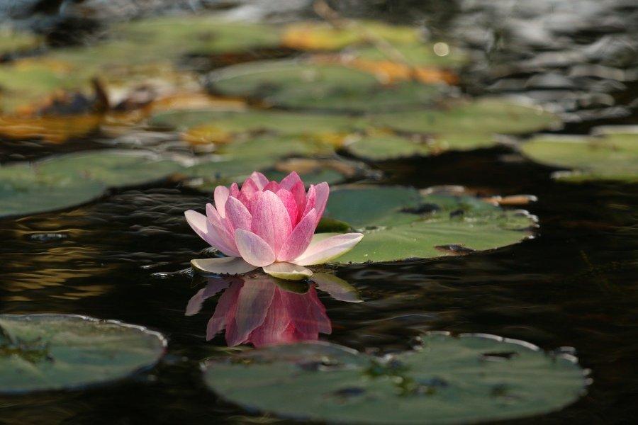 beauty, flower, lotus