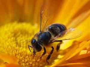 Wie die Biene: Sie sticht auch nur, weil sie in Not ist