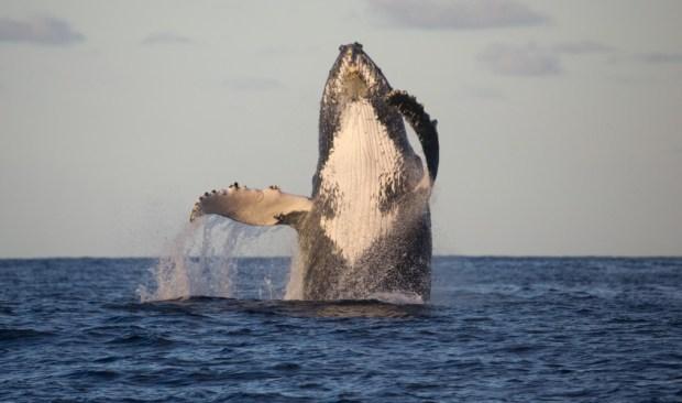 como-ver-as-baleias-jubarte-na-praia-do-forte-1014x598