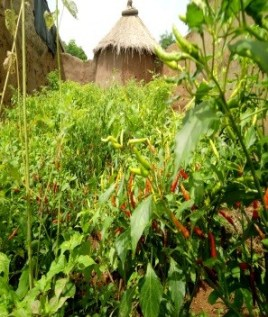 Improving household food security and incomes through dry season gardening