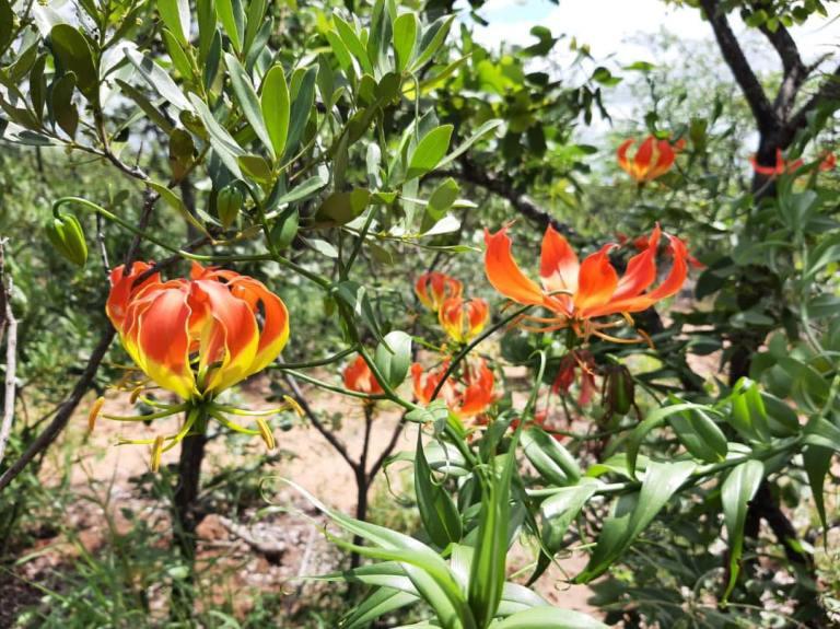 Flame Lily - Zimbabwe National Flower